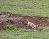 Black-tailed prairie dog excavating<br /> Theodore Roosevelt National Park, North Dakota