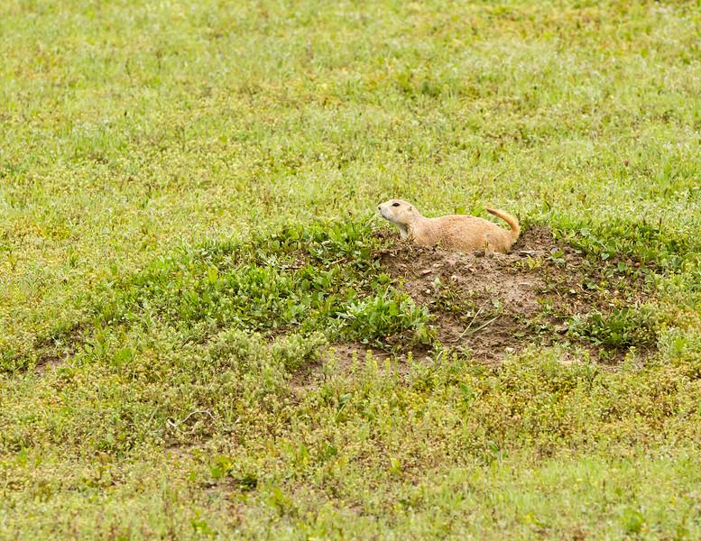 Black-tailed prairie dog<br /> Black-tailed prairie dog, Theodore Roosevelt National Park, North Dakota