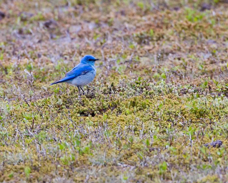 Mountain Bluebird<br /> Theodore Roosevelt National Park, North Dakota