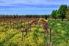 NE Vineyard 1