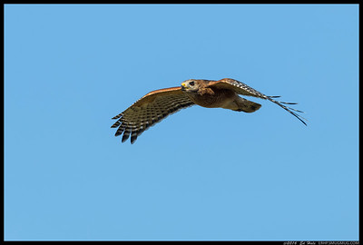 A flyby from a Red Shouldered Hawk while I was out in the fields.