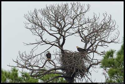 The fog preceding the storm was starting to move in but I still wanted to get a shot of the Bald Eagles on the nest.
