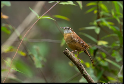 I can always count on seeing the Carolina Wrens near the house.