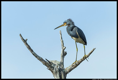 TriColored Heron sporting a fancy do.