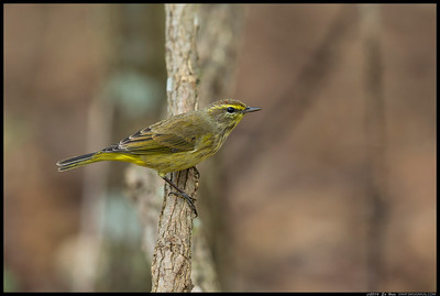 After seeing a lot of different species but unable to get any images I really liked, I came across this Palm Warbler taking a drink.  Nice enough to hop up on a branch or two and pose for several minutes, with the only limitation being the light through the dense foliage.