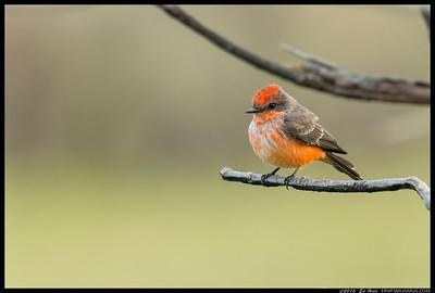 Juvenile male Vermilion Flycatcher.