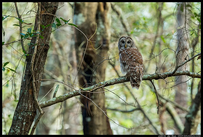 One of the Barred Owls spotted along the Withlacoochee River.