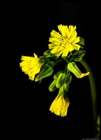 Tiny flowers near Falmouth Spring.