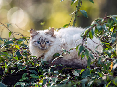 Fluffy white cat amidst the thorny rose vines.