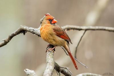 Female Northern Cardinal.