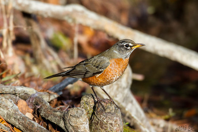 American Robin perching on a cypress knot.