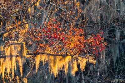 A bend in the Suwanee River allowed the sun to illuminate the remaining leaves and the moss on this tree.  Hooray for big glass as I would have never gotten close enough to use the more conventional ones in time.