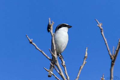 Loggerhead Shrike:  Was watching this one in another tree then it took off, tried to catch something but missed and then flew to this tree directly in front of me.  I took several shots but when I went to move over half a foot to get a clearer shot, it took off and headed across the field.