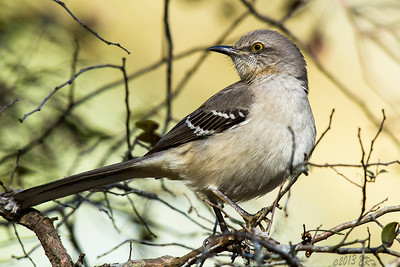 Northern Mockingbird looking over its shoulder.
