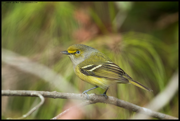 White Eyed Vireo paused and just looked at me for a moment before chasing after more insects.