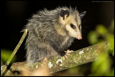 Spotted a Virginia Opossum on an eye level branch and decided to take some night shots.