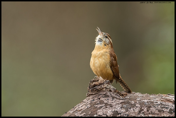 Carolina Wren belting out a challenge to another wren nearby.  At times I had between four and six pairs bouncing around me, making it difficult to pick which one was going to make the best shot.