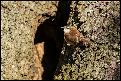 A Carolina Wren pausing from its snack finding mission to pose briefly for the camera.