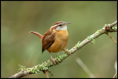A Carolina Wren investigating the area.  Interesting tiny birds that seem to prefer dark areas, even atop branches and stumps.