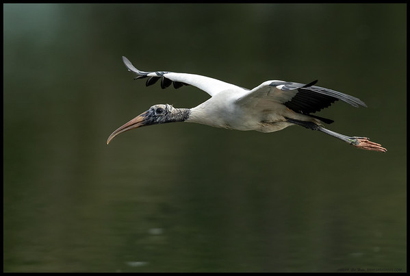 One of the Wood Stork's flying back to a more peaceful perch.