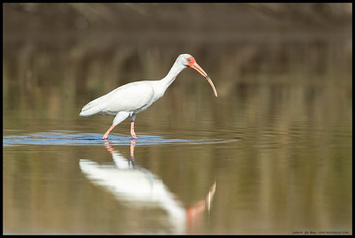 A White Ibis foraging in one of the open channels at St Mark's NWR.