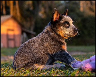This nine week old Blue Heeler should make an interesting childhood companion.