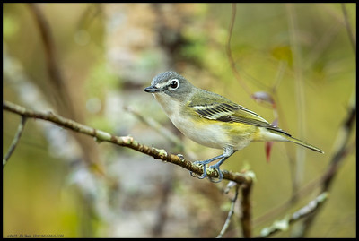 A Blue Headed Vireo on the lookout for morning snacks near the edge of a small pond.