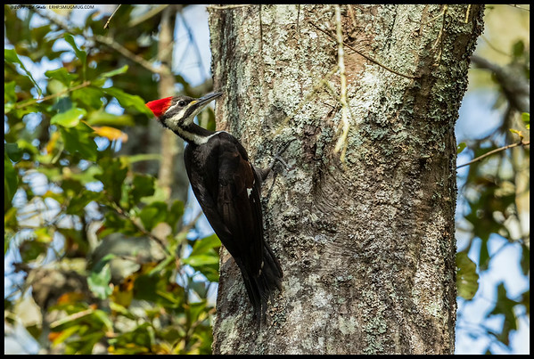A female Pileated Woodpecker exploring for lunch options.