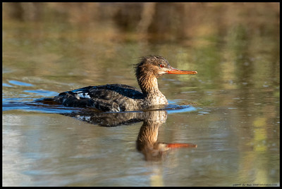 One of the female Red Breasted Mergansers drifting by me in a channel at St Makr's NWR.