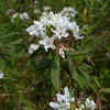 Labrador tea (Ledum groenlandicum) was in full bloom, too. I picked a few of the leaves and just enjoyed a cup of the tea one can brew from them.
