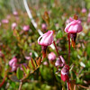 Wild cranberry (Vaccinium oxycoccus). This is another tiny plant; true cranberries grow not on bushes but on delicate trailing vines.