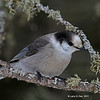 Gray Jay at Sax-Zim Bog- MN