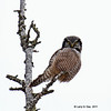 Northern hawk Owl at Sax Zim Bog