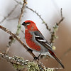 Male Pine Grosbeak -
