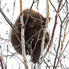 Porcupine near Meadowlands MN