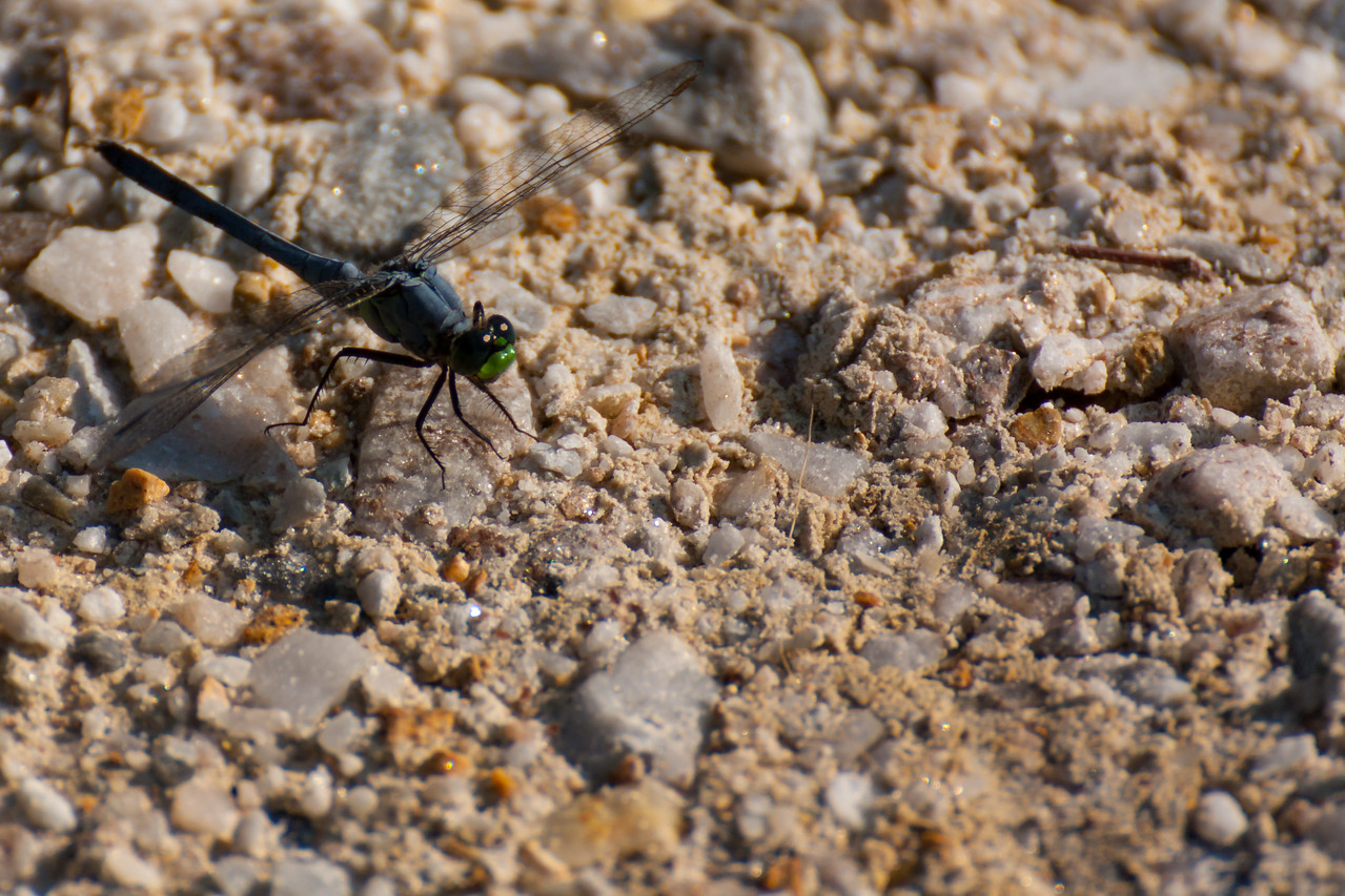 This is an eastern pondhawk dragonfly.  According to an online guide the blue body and green face are distinctive.