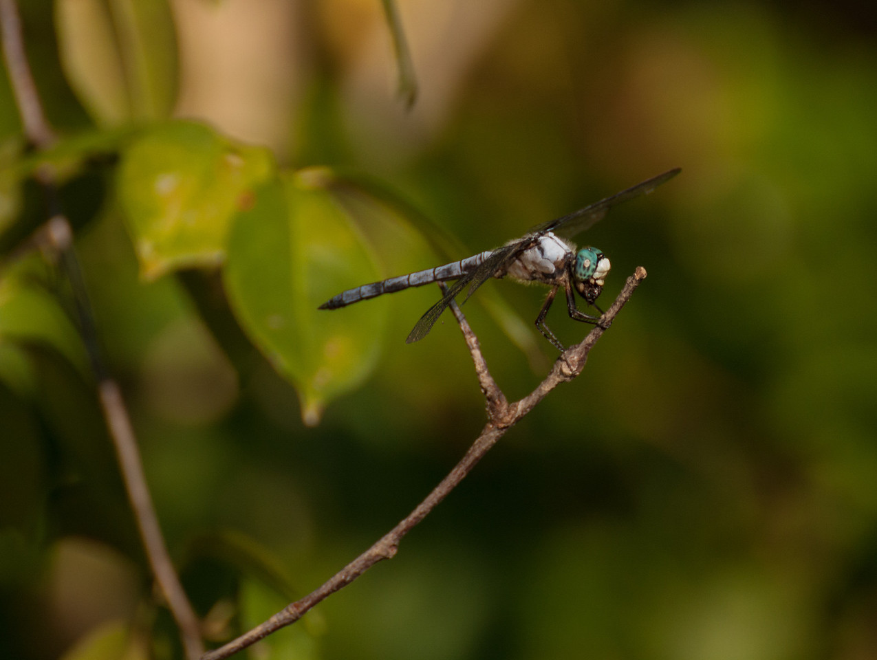 Blue skimmer dragonfly eating an insect.  Almost all gone.