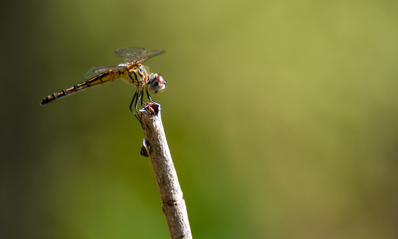 I think this is a juvenile blue dasher dragonfly.