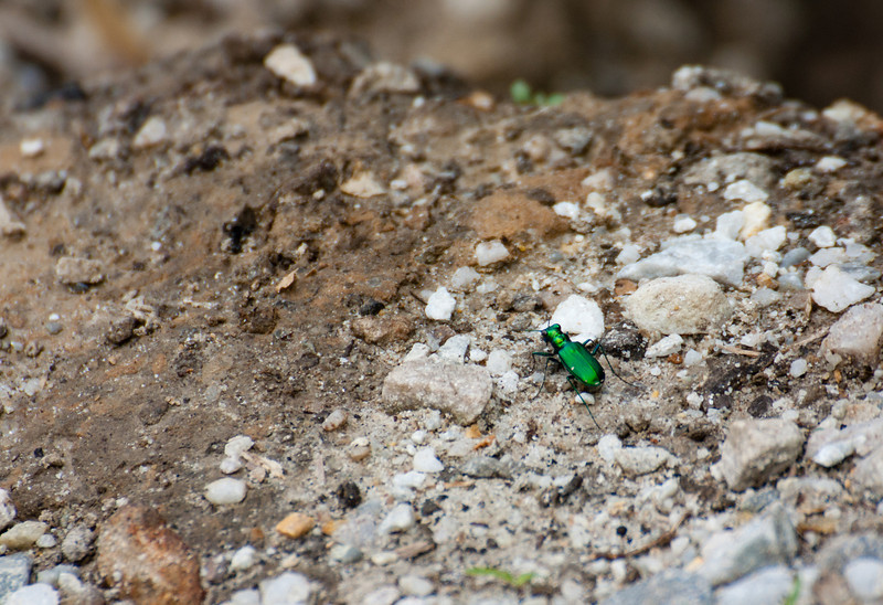 Tiger beetle at North Point State Park