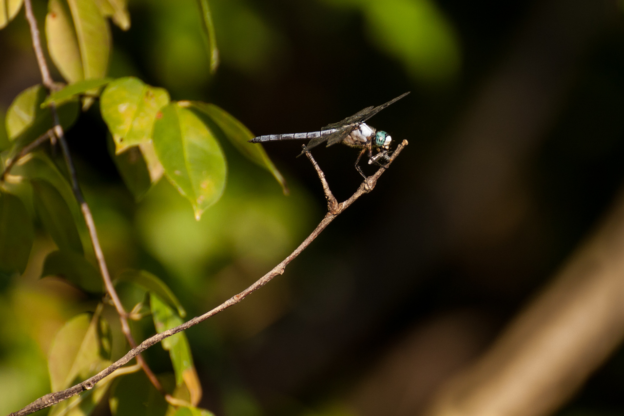 Blue skimmer dragonfly eating an insect.  Just getting started.