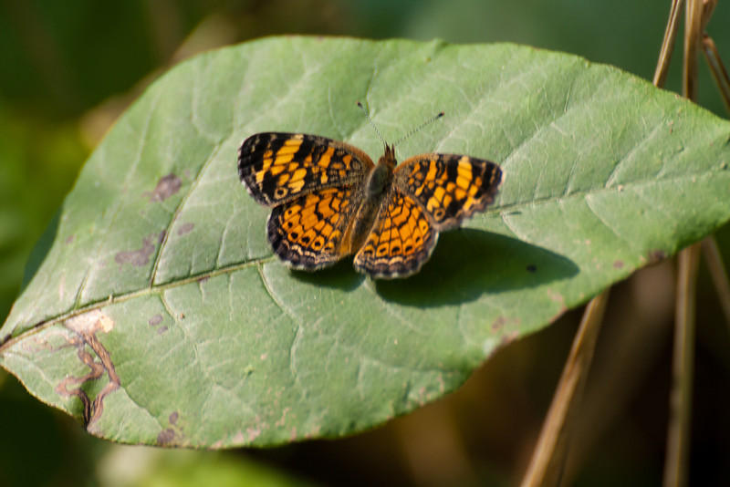 Silvery checkerspot butterfly.