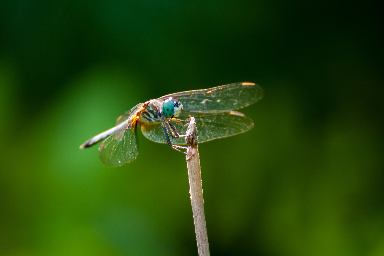 This is a blue dasher dragonfly.