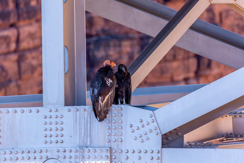 California Condor 6-27-19_V9A6801