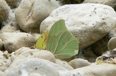 P104WhAng-S_BoisdY551 Oct. 6, 2008  1:53 p.m.  P1040551 Yellow Angled-Sulphur and Boisduval's Yellow at Sta. Maria de Guad.  (K20)