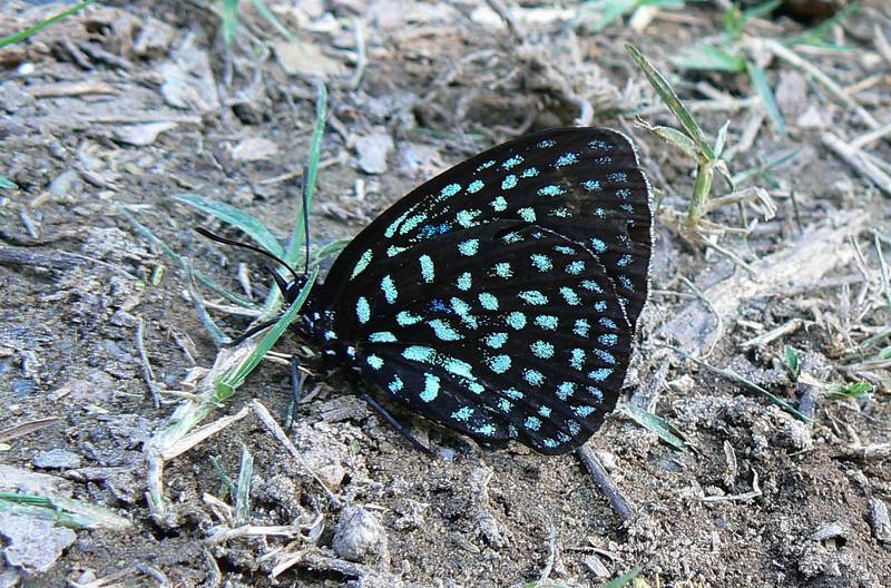P104SupCycadian224 Oct. 2, 2008  3:58 p.m.  P1040224 Superb Cycadian, Eumaeus childrenae, at Los Troncones (Cd. Victoria)