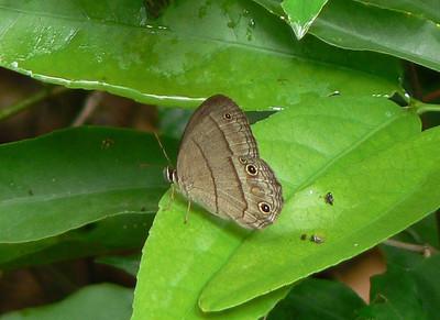 P104CissiaPompilia325 Oct. 4, 2008  8:42 a.m.  P1040325 Cissia pompilia,  Pompilia Satyr, at La Florida, Tamps.