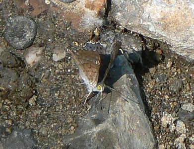 P104LasaiaMariaAnna165 Oct. 2, 2008  1:50 p.m.  P1040165 Lasaia maria anna, Blue-gray Lasaia at Los Troncones (Cd. Victoria)