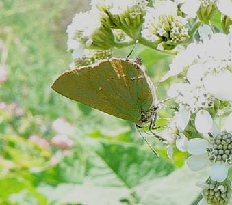 P104TropGnStrk158 Oct. 2, 2008  1:10p.m.  P1040158 Tropical Greenstreak, Cyanophrys herodotus, at Los Troncones, Cd. Vic.