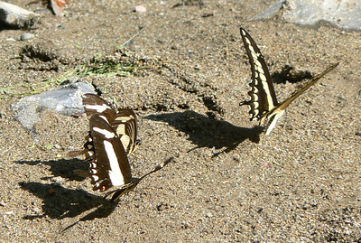 P104Torq2-Tho188 Oct. 2, 2008  2:16 p.m.  P1040188 Torquatus Swallowtail, Heraclides torquatus, two following a Thoas or Giant at Los Troncones (Cd.Vic.)