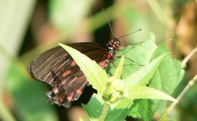 P104MimoidesSp332 Oct. 4, 2008  8:53 a.m.  P1040332 Mimoides sp. at La Florida